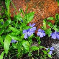Весенние цветы - Барвинок :: Маргарита Батырева