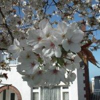 Сине-белый цветущий апрель :: Natalia Harries