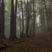 Буковый лес :: Erizo Espinoso
