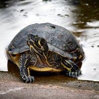 Черепаха под дождём :: Татьяна Каримова