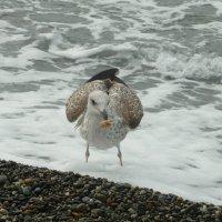 Чайка с добычей :: Вера Щукина