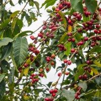 Кофейное дерево :: Ruslan