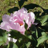 Цветок древовидного пиона символизирует пробуждение жизни :: Елена Павлова (Смолова)