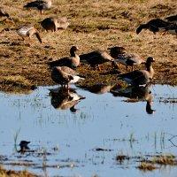 белолобые гуси :: linnud