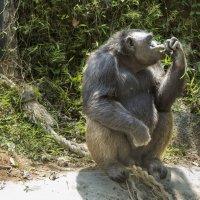 Шимпанзе за обедом... :: Cергей Павлович
