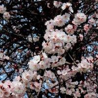 Цветут дикорастущие абрикосы  (жердёлы) :: Нина Бутко
