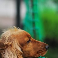 Собачий портрет :: Юрий Гайворонский
