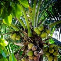 кокосовая пальма :: Екатерина Самохина