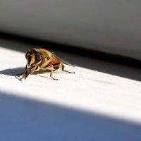 Безобидная муха... :: марк