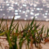 трава на весеннем пляже :: Александр Прокудин