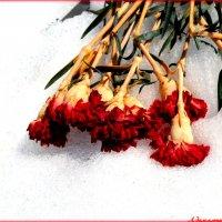 О цветах на снегу.. :: Андрей Заломленков