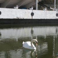 """Однократное отражение лебедя в воде и  пятикратное  - в небе ( в """"скульптуре"""" Вселенной) :: Алекс Аро Аро"""