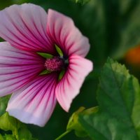 Цветок малопы :: Татьяна Соловьева