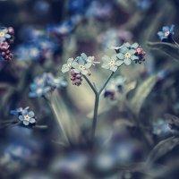 Цветок с голубыми глазами. :: Лилия .