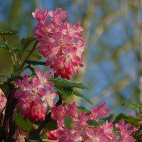 Цветущие кусты смородины в начале апреля :: spm62 Baiakhcheva Svetlana
