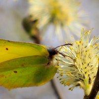 лимоннице тоже надо пыльца :: Александр Прокудин