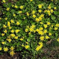 На солнечной поляночке расцвёл лютик весенний :: Маргарита Батырева