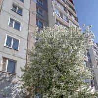 яблоня в цвету :: gribushko грибушко Николай