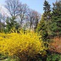 Май в ботаническом саду. Форзиция цветёт :: Дмитрий Никитин