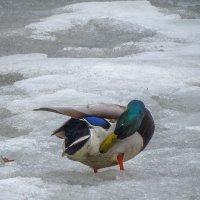 Купание в снегу :: Сергей Цветков
