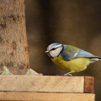 лазоревка :: linnud