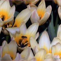 Тюльпаны :: Виктор Марченко