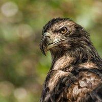 Степной орёл :: Nn semonov_nn