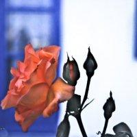 Критская роза :: Константин Вергакис