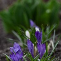 Первоцветы :: Анастасия Мойсук