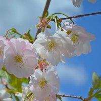Сакура в цвету :: Ростислав