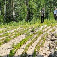 Производство леса. :: Кириловский Алексей