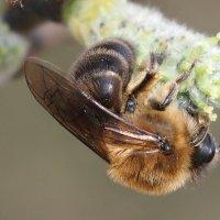 апрельская пчела :: Александр Прокудин