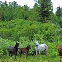 Лошади в лесу :: Сергей Чиняев