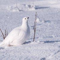 Белая куропатка. :: Юрий Харченко
