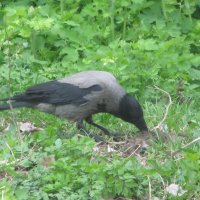 Очевидное-невероятное:ворона поймала крысу! Лако-ом-ство! :: Алекс Аро Аро