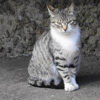Кошка - дворняжка с раскосыми глазами :: Маргарита Батырева