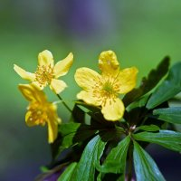 цветы весны.. :: юрий иванов