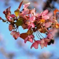 Цветение вишни :: Оксана Шрикантх