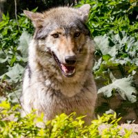 Волчица :: Александр Неустроев