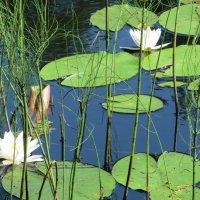 лилии на озере. :: ВАЛЕНТИНА ИВАНОВА