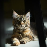 Мейн котенок :: Ruslan --