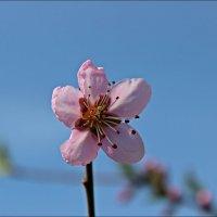 Цветик персика :: Татьяна Пальчикова