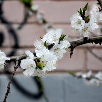 Весеннее цветение :: Евгения Eva