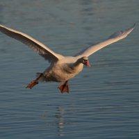 лебедь на закате дня :: Naum