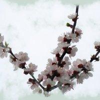 Ветка абрикоса... :: Тамара (st.tamara)