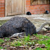 Африканский страус. :: Александр Яковлев