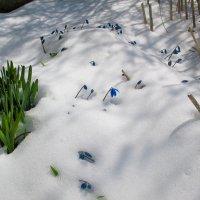 крокусы в снегу :: Марина Ломина