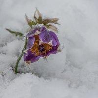 С весною из под снега :: Сергей Герасимов
