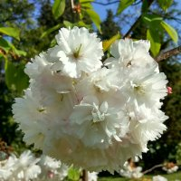 Сакура цветет :: Антонина Владимировна Завальнюк