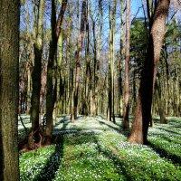 Весенний лес... :: Антонина Гугаева